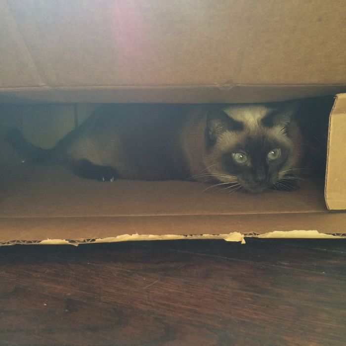 Covert operations in progress. Cat Siamese Cat Hiding Top Secret Mission Secret Agent Box Cat In The Box Hideout Headquarters Lolcat Funny Cat Playing Game Hide And Seek