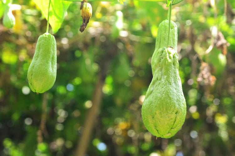Plantação de Machucho Close-up Growing Growth Healthy Machucho New Life Plant Vegetables
