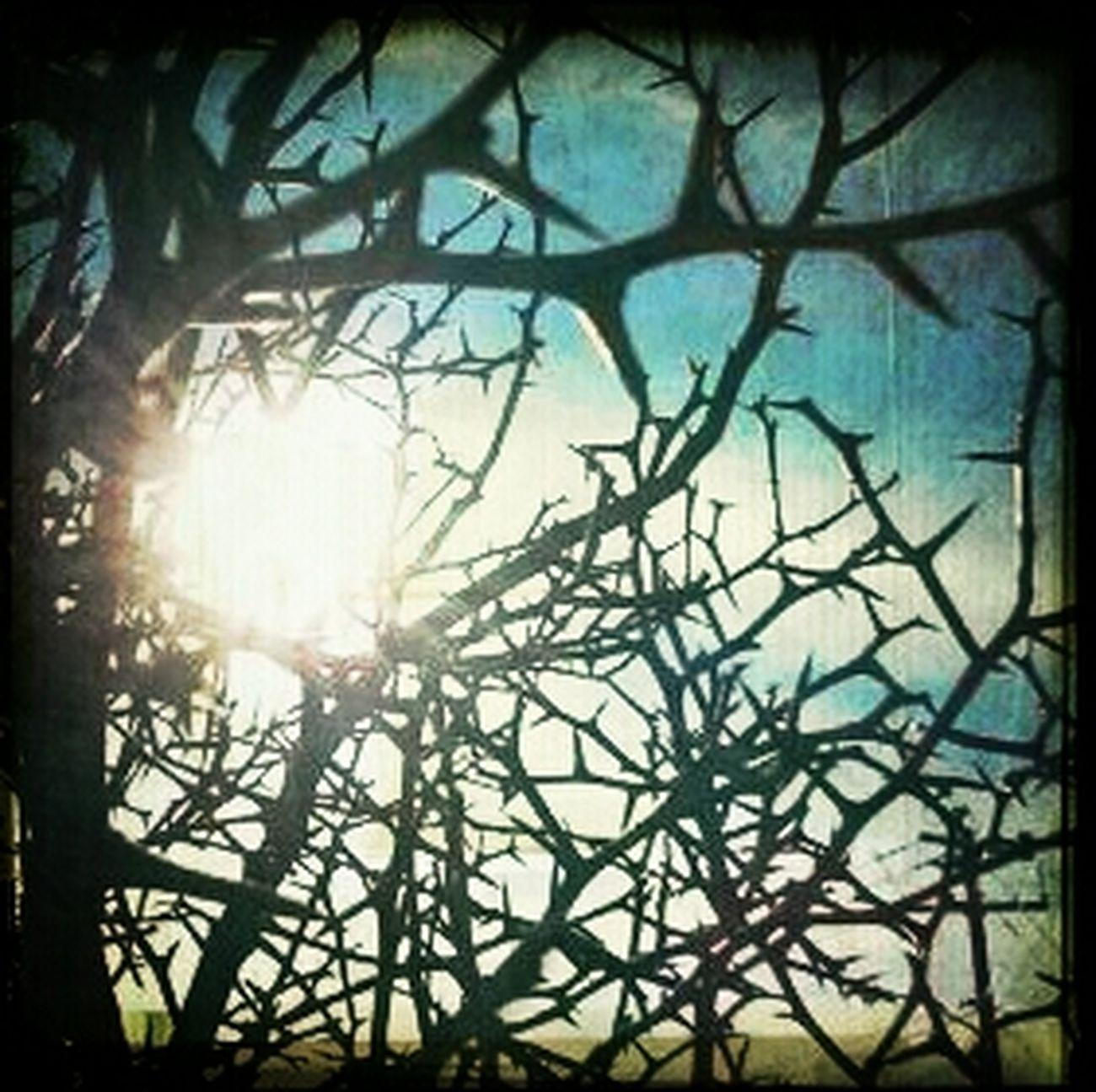 Thorny Prickly Thorns Under The Kumquat Bush Pricks