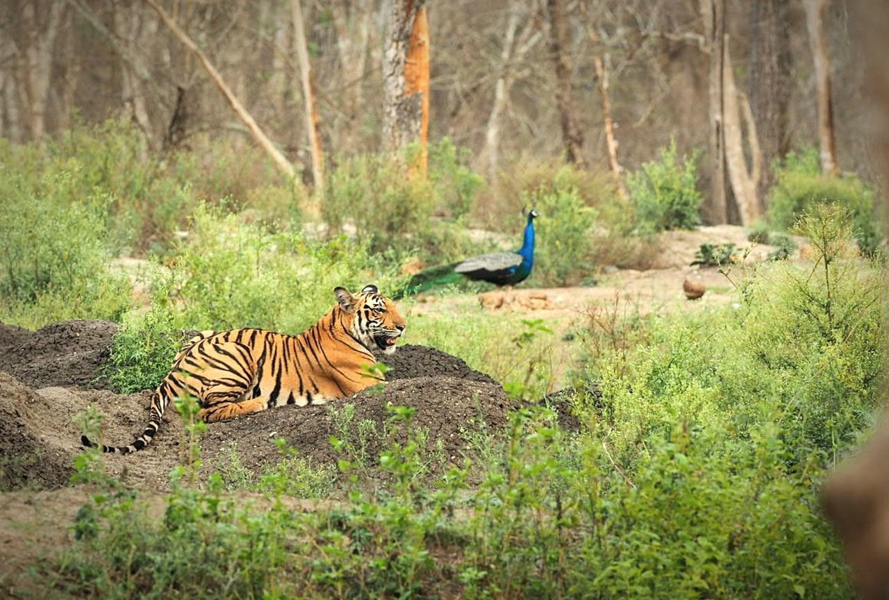 Animals In The Wild Animal Wildlife Tiger Nature Kabini National Park Beauty In Nature Forest Wildlife Photography Animals In The Wild Bird Outdoors Safari Animals Mammal Nature Peacock Blue