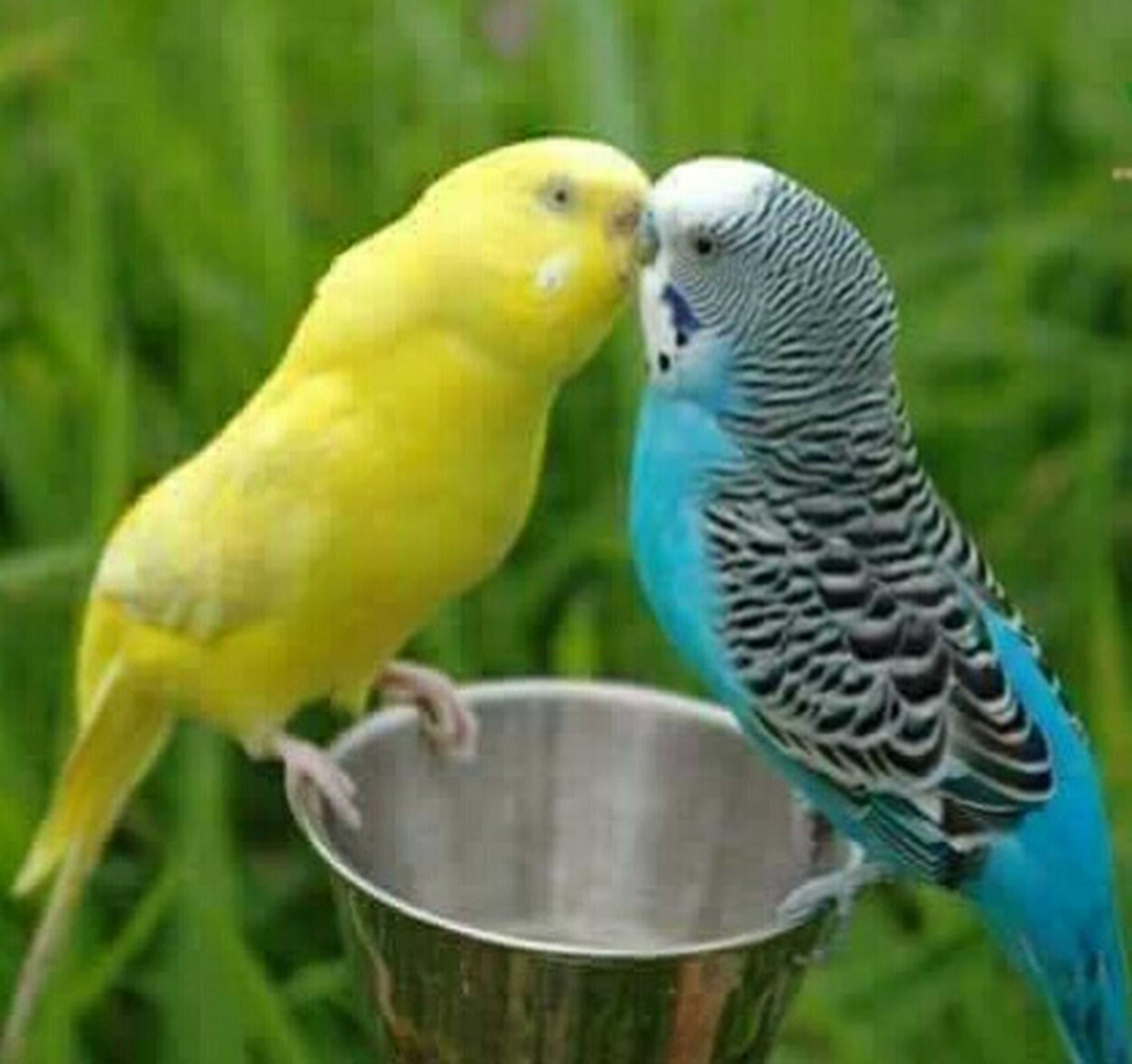 bird, animal themes, budgerigar, focus on foreground, animal wildlife, animals in the wild, close-up, perching, nature, togetherness, parrot, no people, outdoors, day, grass