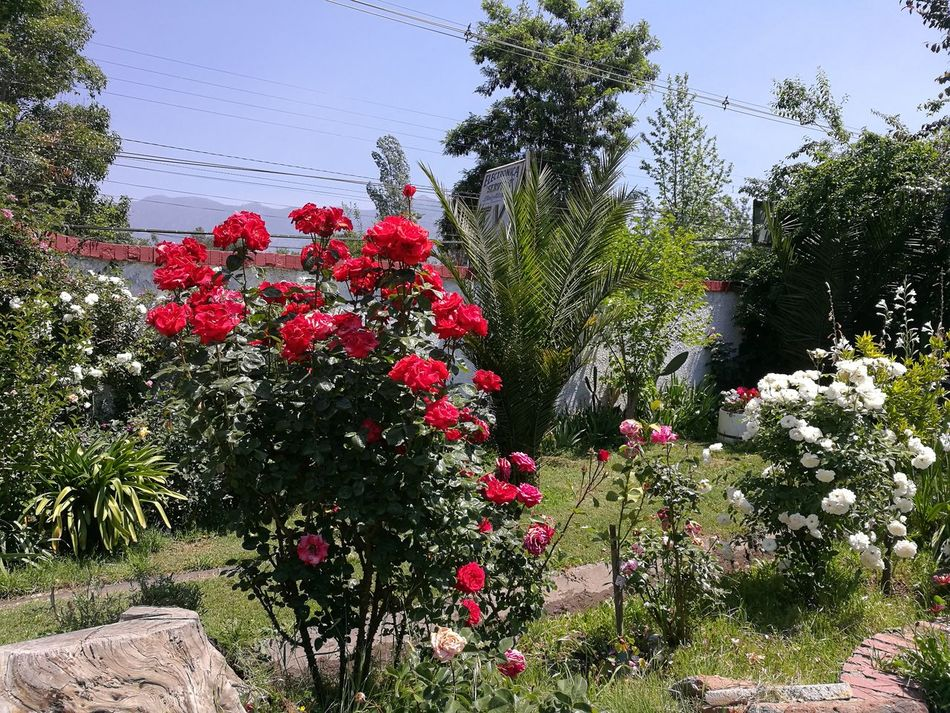 Flower Red Outdoors Day No People Growth Nature Tree Beauty In Nature Sky Freshness Rosales Rosas Flores Primavera Colores Spring Campo Jardin Nature Growth Florecido Patio Plants
