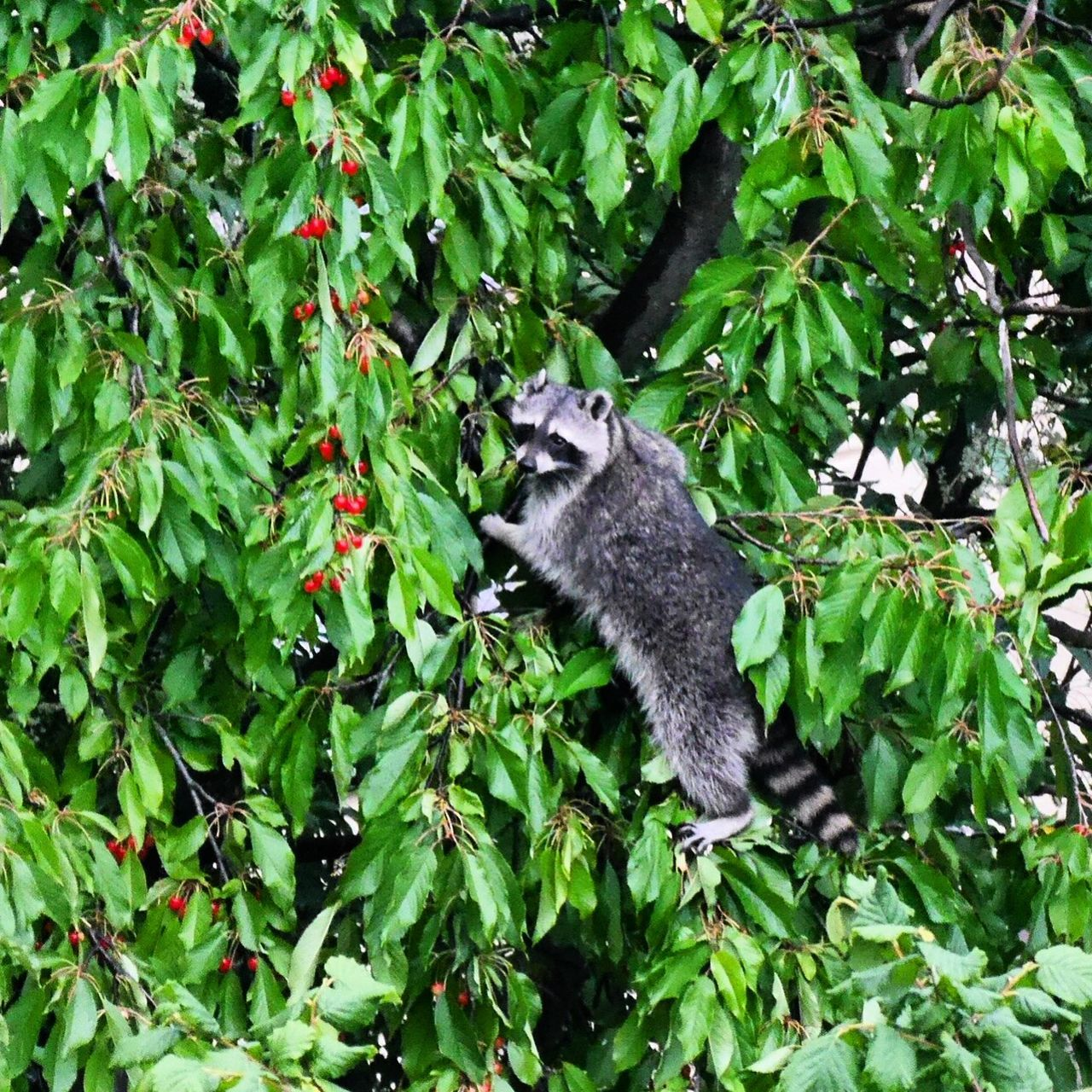 Beautiful stock photos of raccoon, Animal Themes, Animals In The Wild, Berlin, Branch
