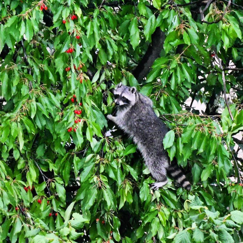 Beautiful stock photos of raccoon, Animal Themes, Animals In The Wild, Berlin, Branch