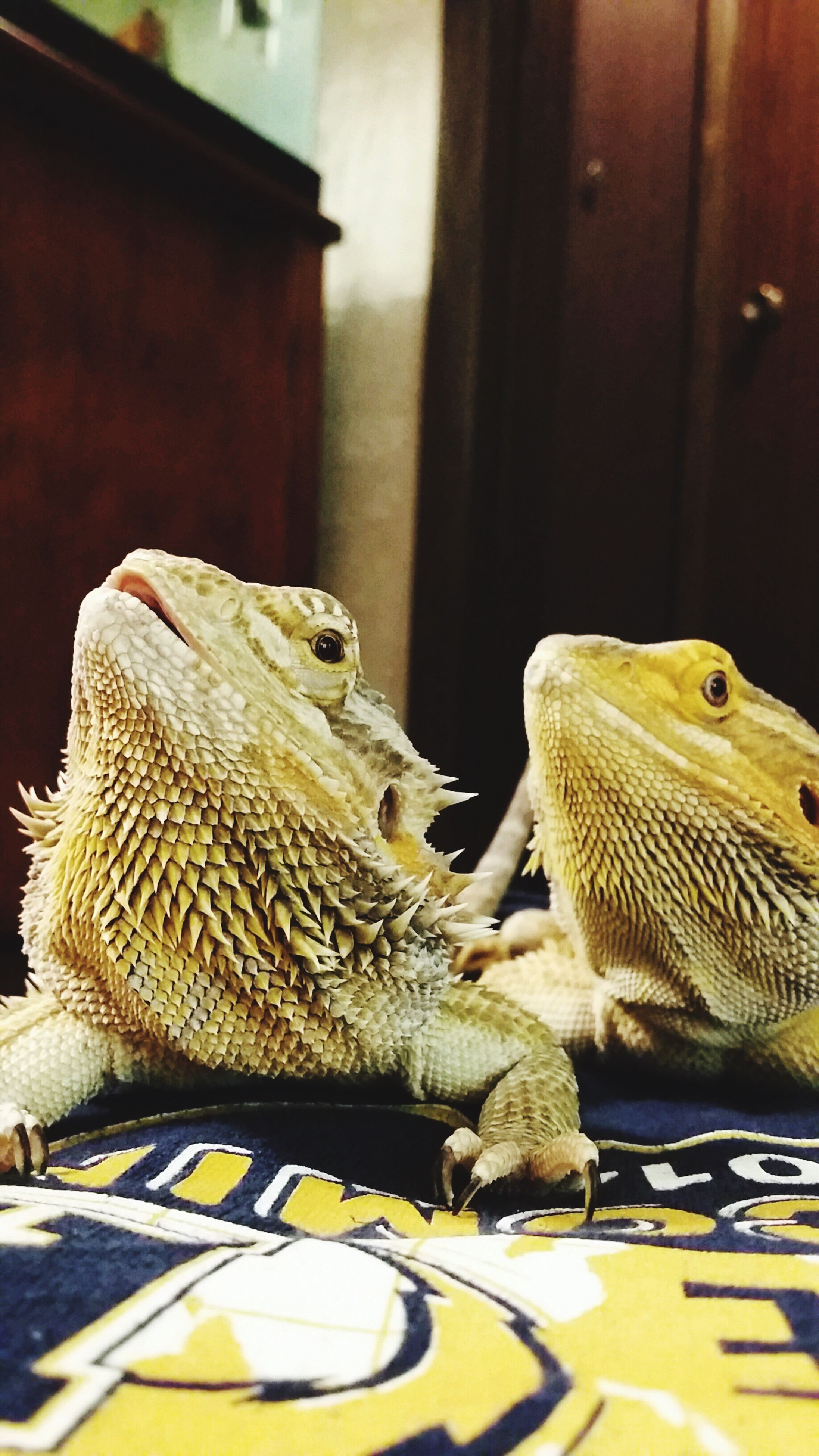 animal themes, table, indoors, one animal, reptile, no people, bearded dragon, pets, close-up, day, animal scale