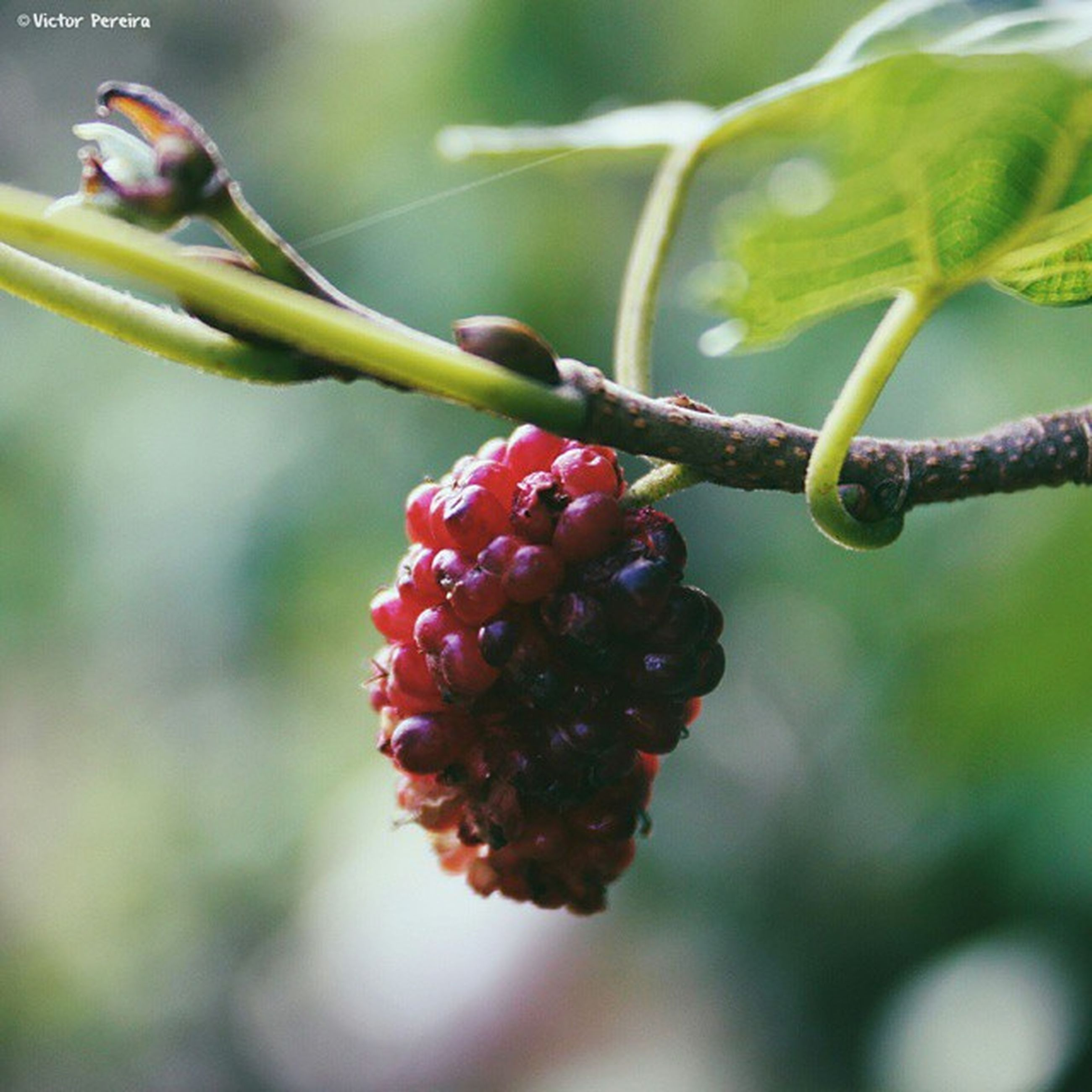 fruit, freshness, growth, food and drink, close-up, berry fruit, food, focus on foreground, berry, healthy eating, red, branch, nature, plant, hanging, leaf, ripe, bud, beauty in nature, tree
