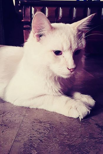 Whitekitty Cuteness Animal Photography Beautiful ♥ Catsoftheworld
