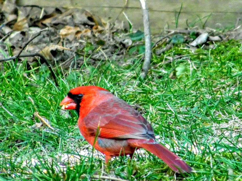 Cardinal Beauty In Nature Close-up Close-up Nature Birds Nature Animal Wildlife Winter Landscape Outdoors Relaxation
