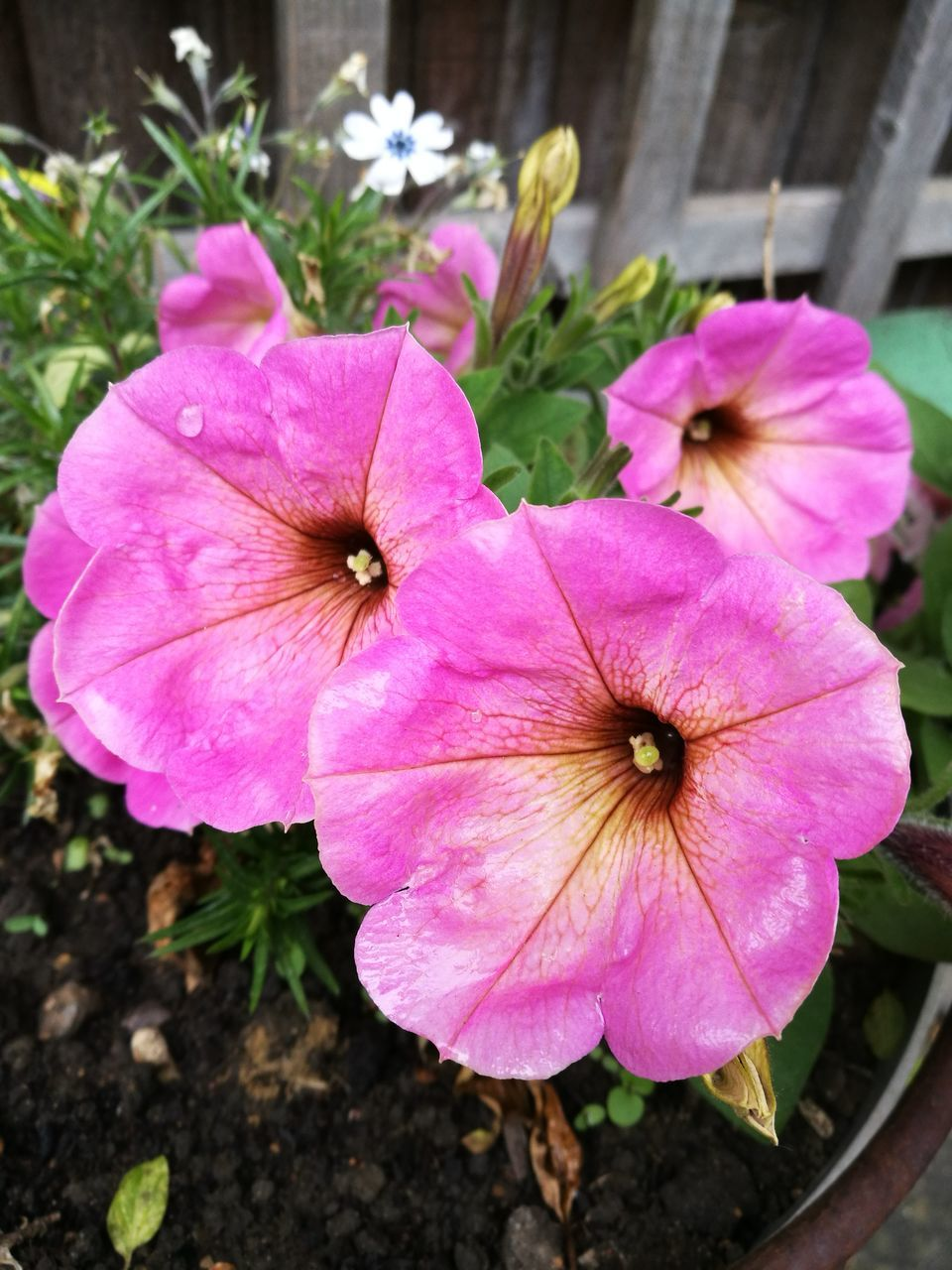 flower, pink color, petal, growth, flower head, blooming, day, fragility, outdoors, nature, plant, beauty in nature, no people, petunia, freshness, close-up, periwinkle