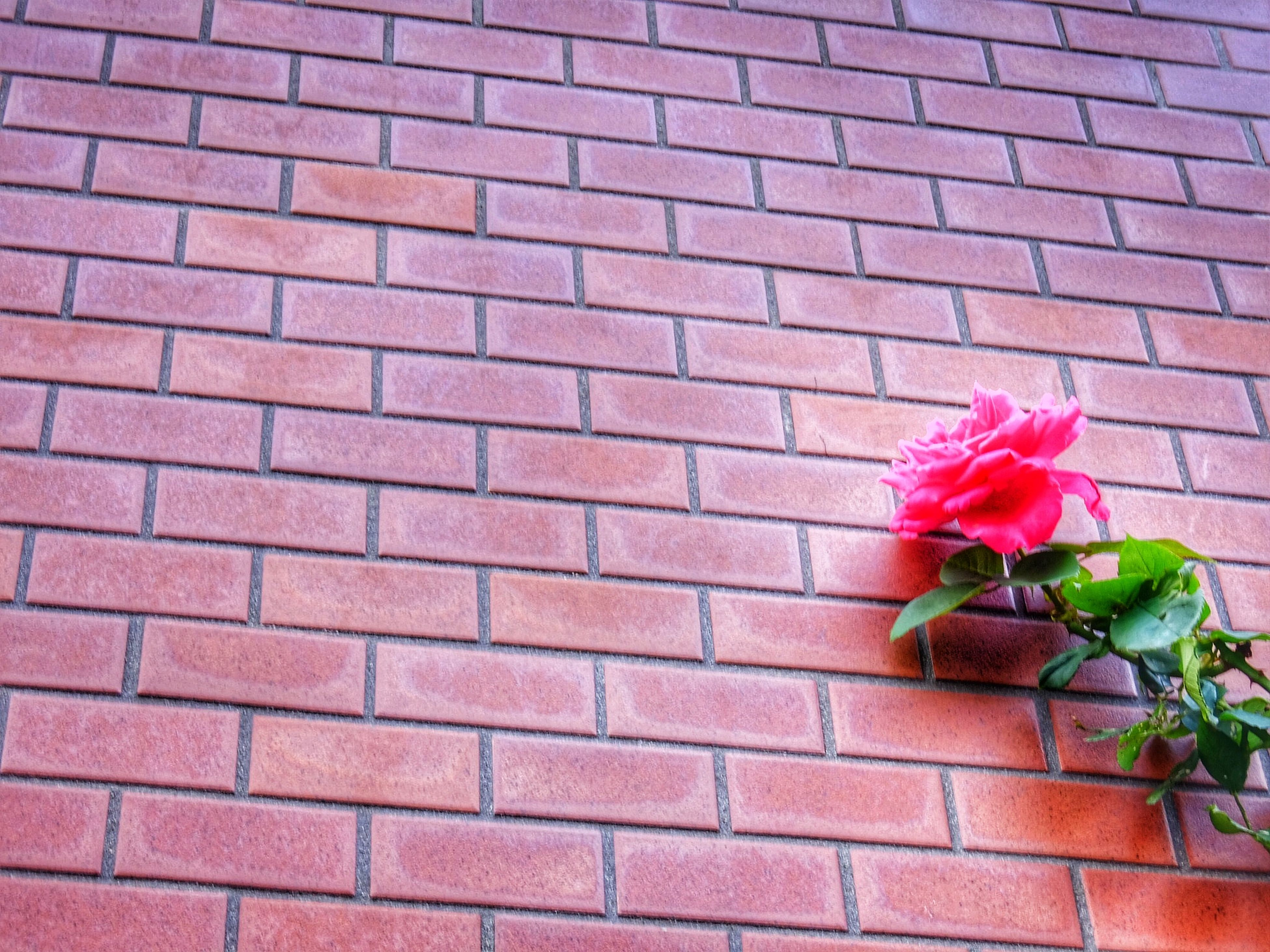 flower, freshness, fragility, petal, growth, red, wall - building feature, plant, pink color, flower head, brick wall, beauty in nature, leaf, nature, blooming, close-up, built structure, architecture, rose - flower, day