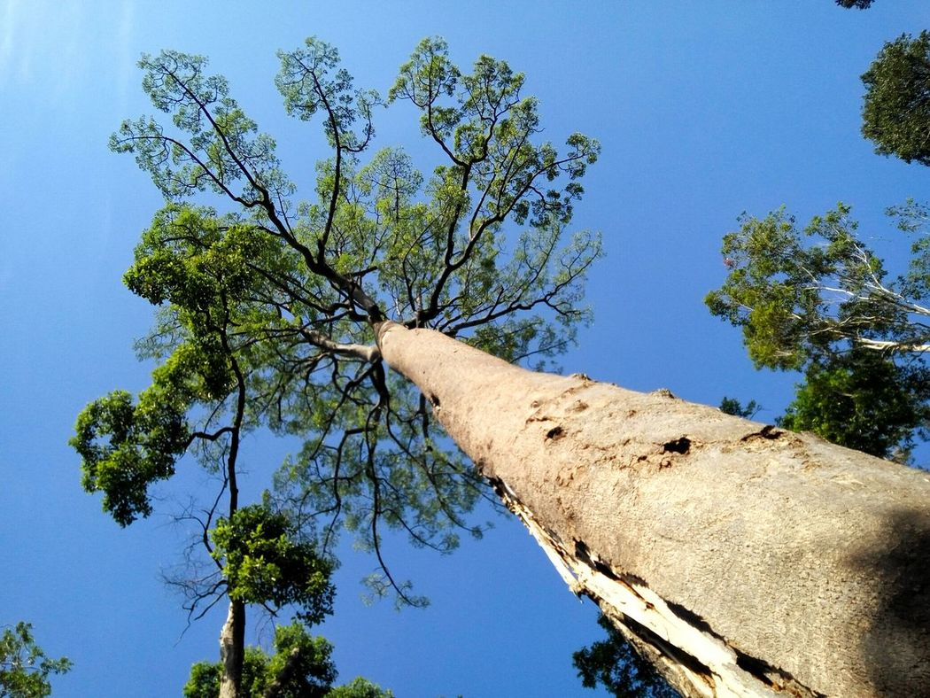 Jelutong tree in Malaysian jungle Tree Sky Low Angle View Blue Nature Growth Beauty In Nature Outdoors No People Tree Trunk Port Dickson Forest Sungai Menyala Malaysia Jungle Single Tree Branches And Leaves Day Clear Sky
