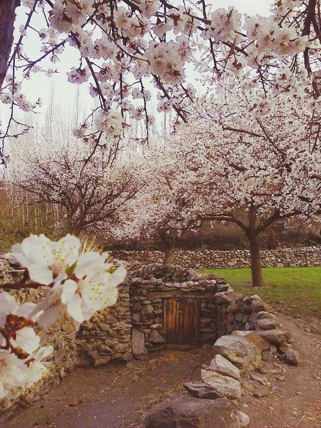 Apricot Blossom ApricotBlossom Apricot Tree Apricot Blossoms Japanese Apricot Blossoms Hello World Popular Photos Open Edit Everyday Joy Hunza Valley Pakistan