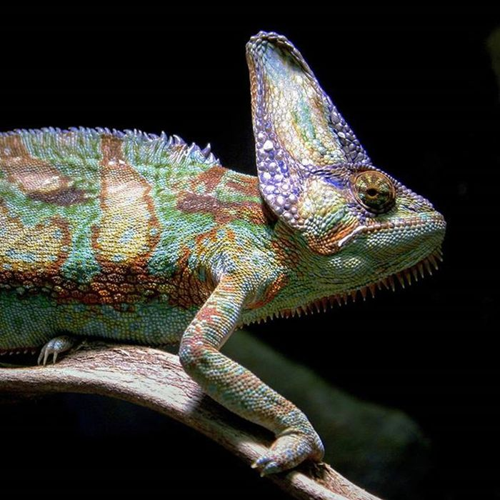 Chameleon Kameleon Beautyofnature Lifeincolors Beauty Nature Osloreptilpark Reptilparken Reptiler Canon Canon_photos Reptiles Details Skin Instaanimal Mothernature Colorful Oslobilder @osloreptilpark Nature's Diversities Beautiful Nature Photography Animal Photography