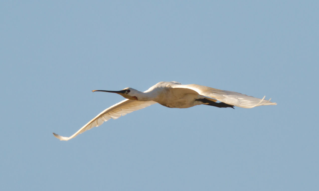 Animal Themes Animal Wildlife Animals In The Wild Bird Bird Photography Day Eurasian Spoonbill European Birds Flying Freedom Nature Nature Photography No People Outdoors Platalea Leucorodia Spread Wings Western Palearctic White Color Wildlife & Nature Wildlife Photography