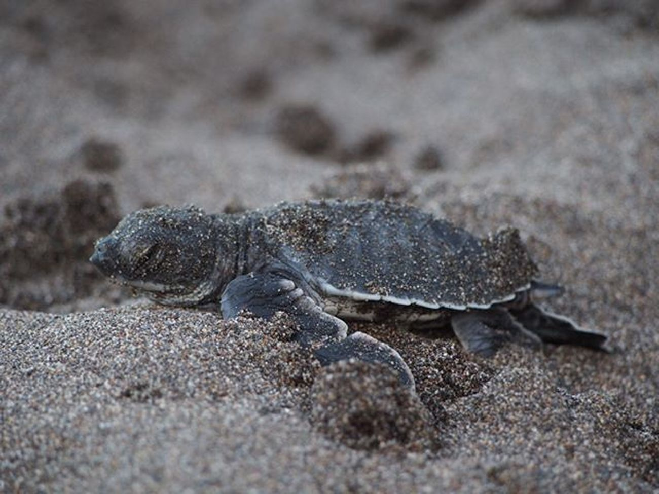A baby turtle trying to get to the sea at the Tortuguero National Park It made it!!!!! :) ------------------------------------------- Turtle Babyturtle Greenback Tooyoung Tooyoungtodie Tortuguero  Tortugueronationalpark Costarica Explorecostarica Travelling Cute Cutebaby Wanderlust Instatravel Travel Conservation Instanature Naturelovers Nature Gadventures Olympus