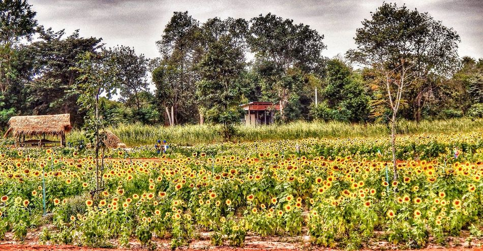 Sunflower Flower Plant Growth Landscape Agriculture Idyllic Yellow Tranquil Scene Field Building Exterior Freshness Rural Scene Beauty In Nature Issan Thailand Beautifully Organized