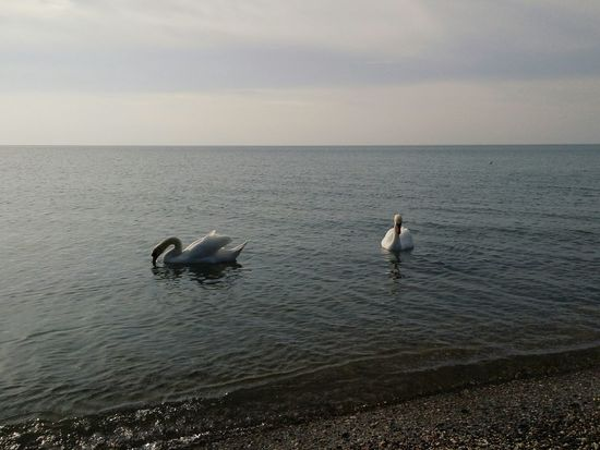 лебеди Crimea Hello World Swimming Hanging Out Check This Out Cheese! Enjoying Life Hi!