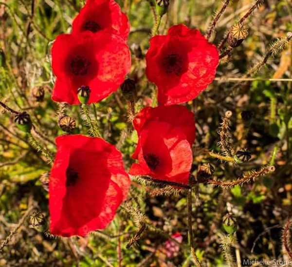 Poppy Flower Red Close-up Beauty In Nature Freshness Poppy Plant Outdoors Nature No People