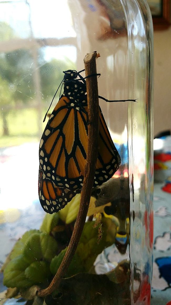 Our monarch butterfly emerged from its chrysalis and was released into nature. Such a fun transformation to watch from egg to butterfly! Hello World Check This Out Hanging Out Taking Photos Butterfly Butterfly Collection Butterflyporn Butterflies Monarch Butterfly Monarch Monarchbutterfly Learning Learning From Nature LearningEveryday Amazing Beauty Amazing Creature South Dakota Southdakota