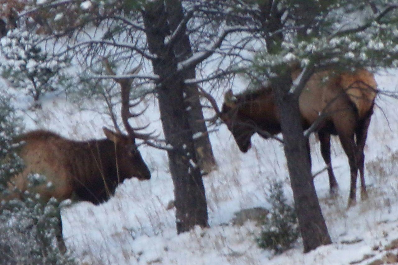 Elk Outdoor Photography Elkhorn Elks Outdoors Photography Rut Outdoors Photograpghy  Outdoors