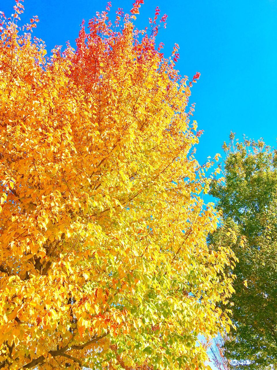autumn, change, tree, nature, beauty in nature, leaf, day, no people, outdoors, growth, low angle view, yellow, blue, sky, branch, scenics, flower, close-up, freshness