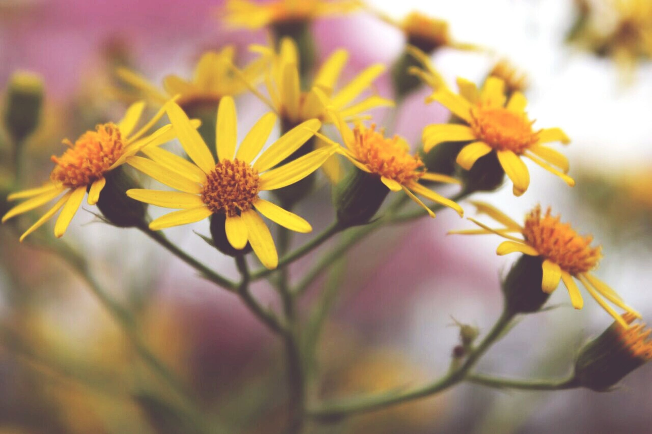 flower, freshness, fragility, growth, beauty in nature, petal, close-up, flower head, stem, focus on foreground, nature, blossom, springtime, plant, in bloom, yellow, botany, day, outdoors, bloom, no people, pollen, blooming, pink color