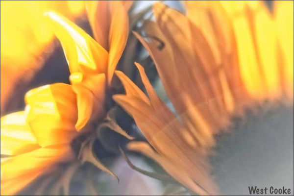 Sunflower in Ventura by wcooke