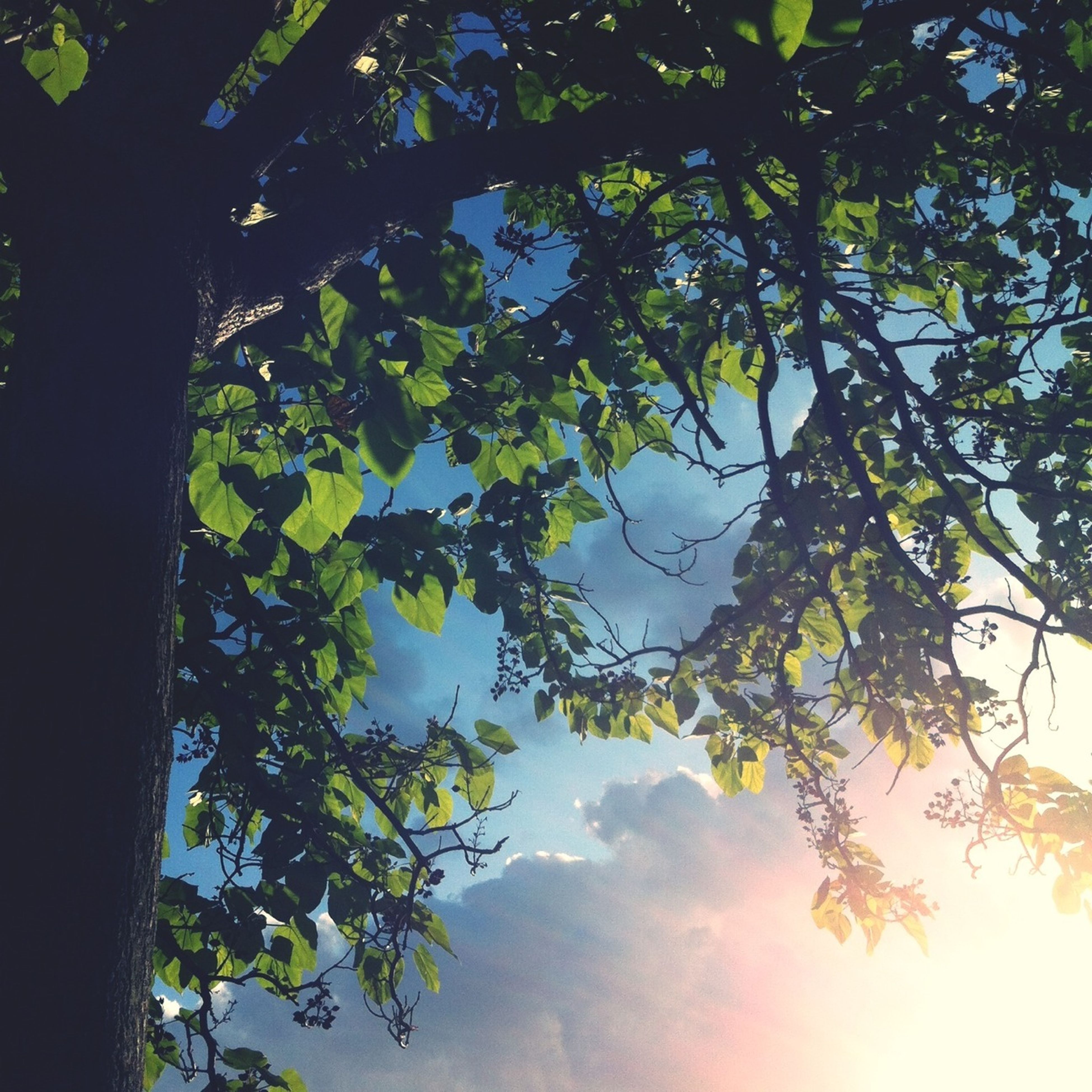 tree, low angle view, branch, growth, nature, tranquility, beauty in nature, leaf, sky, sunlight, scenics, no people, outdoors, silhouette, tranquil scene, day, tree trunk, sun, green color, clear sky
