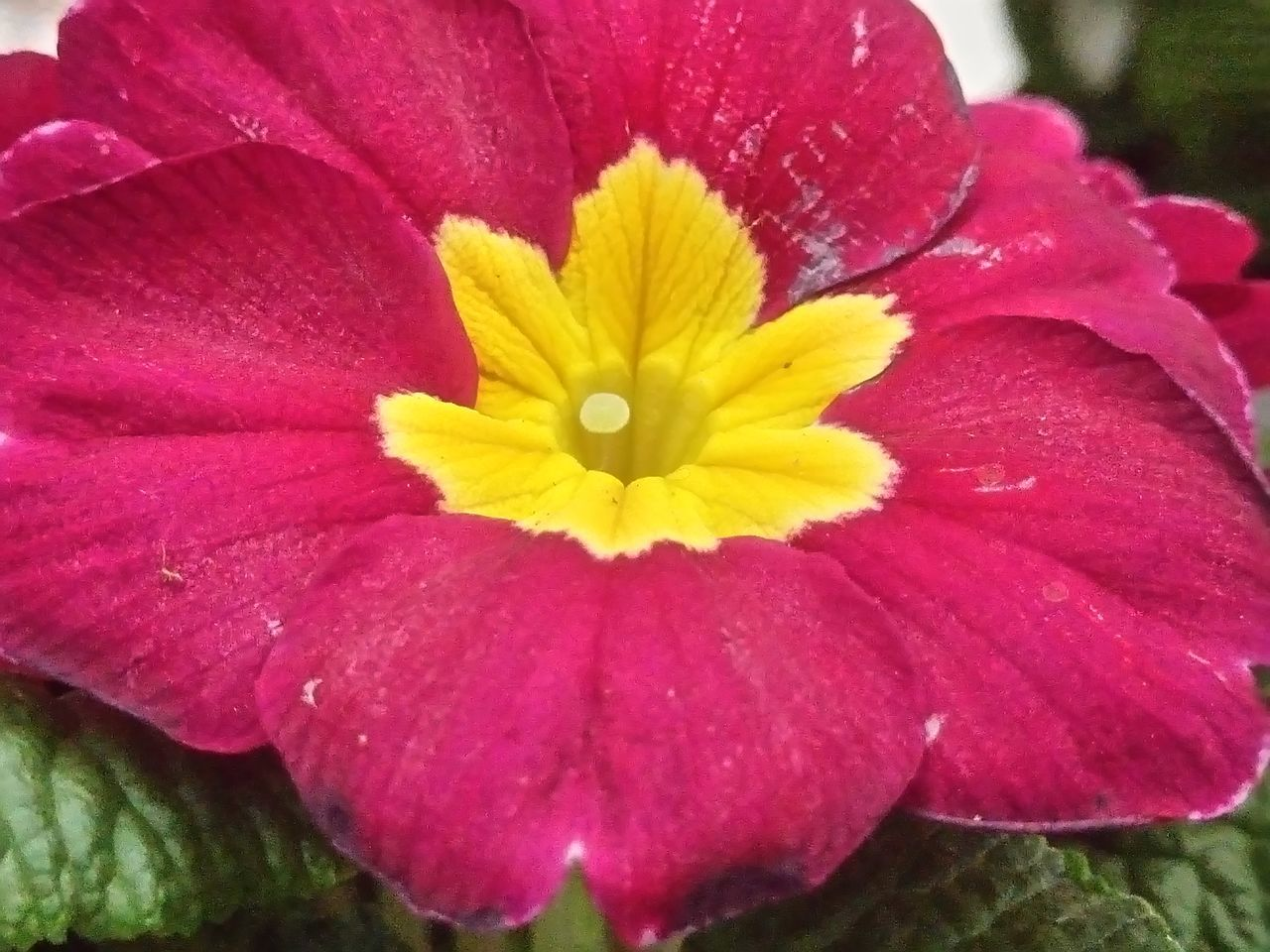 ein kleines Leuchten ... a small lights Flower Fragility Petal Beauty In Nature Flower Head Freshness Nature Red Pink Color Pollen Close-up No People Growth Blooming Outdoors Yellow Plant Zinnia  Maroon Primel Primrose Taking Photos The Week On Eyem Beliebte Fotos EyeEmNewHere