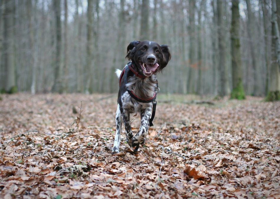 Münsterländer Pets Dog Outdoors Nature Hund Im Wald Dog In The Forest Dog In Action Hund In Aktion Jagdhund Jagdhund Im Wald