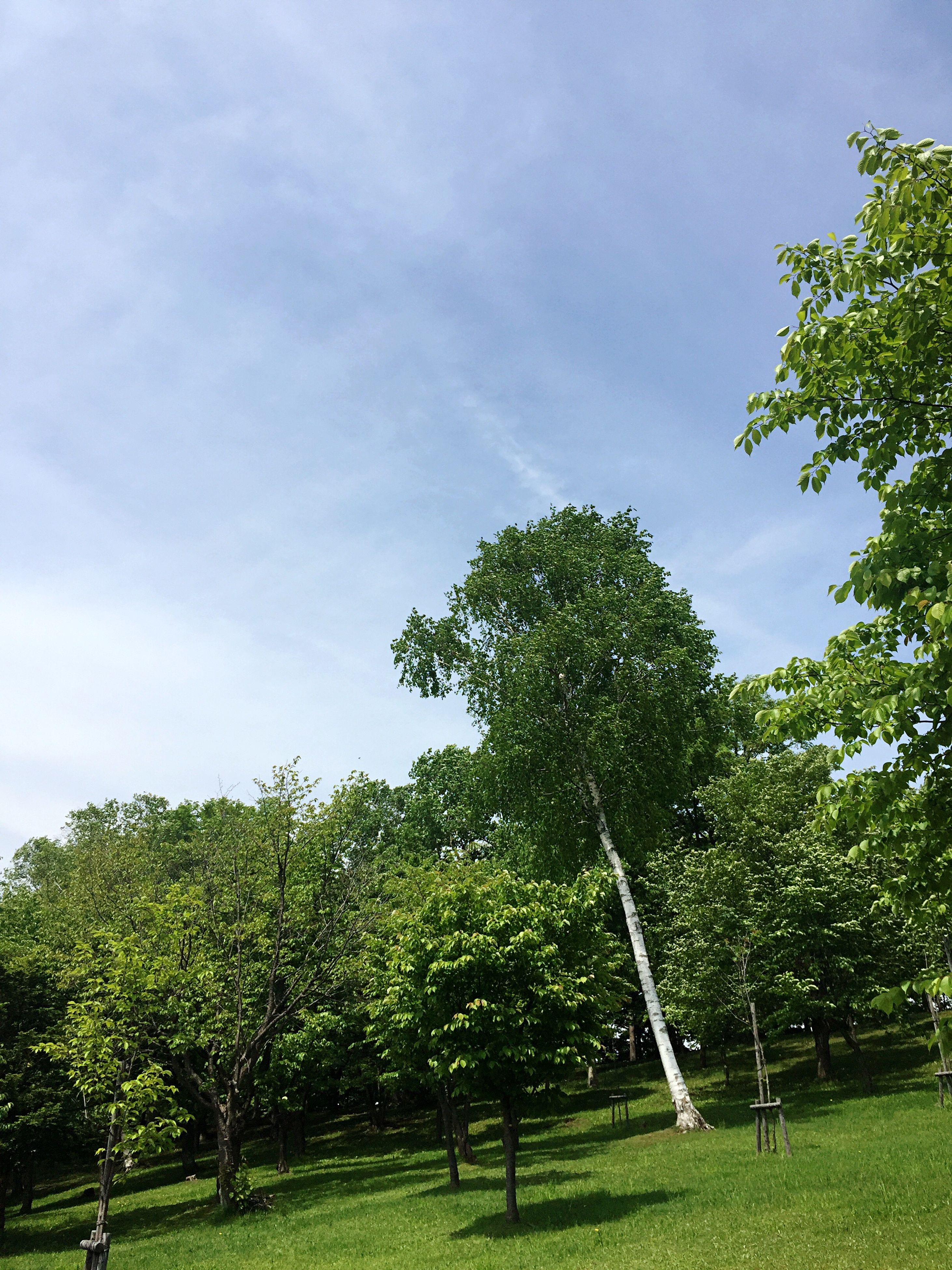 tree, growth, green color, nature, sky, beauty in nature, tranquility, no people, day, tranquil scene, cloud - sky, branch, low angle view, outdoors, scenics, grass