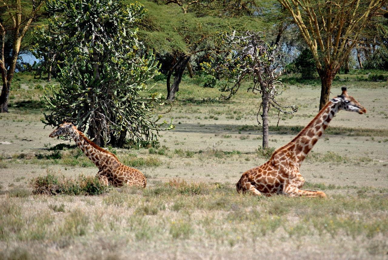 Kenya Animal Wildlife Animals In The Wild Giraffe Giraffe Sitting Giraffes Nature Outdoors Side View Travel Destinations
