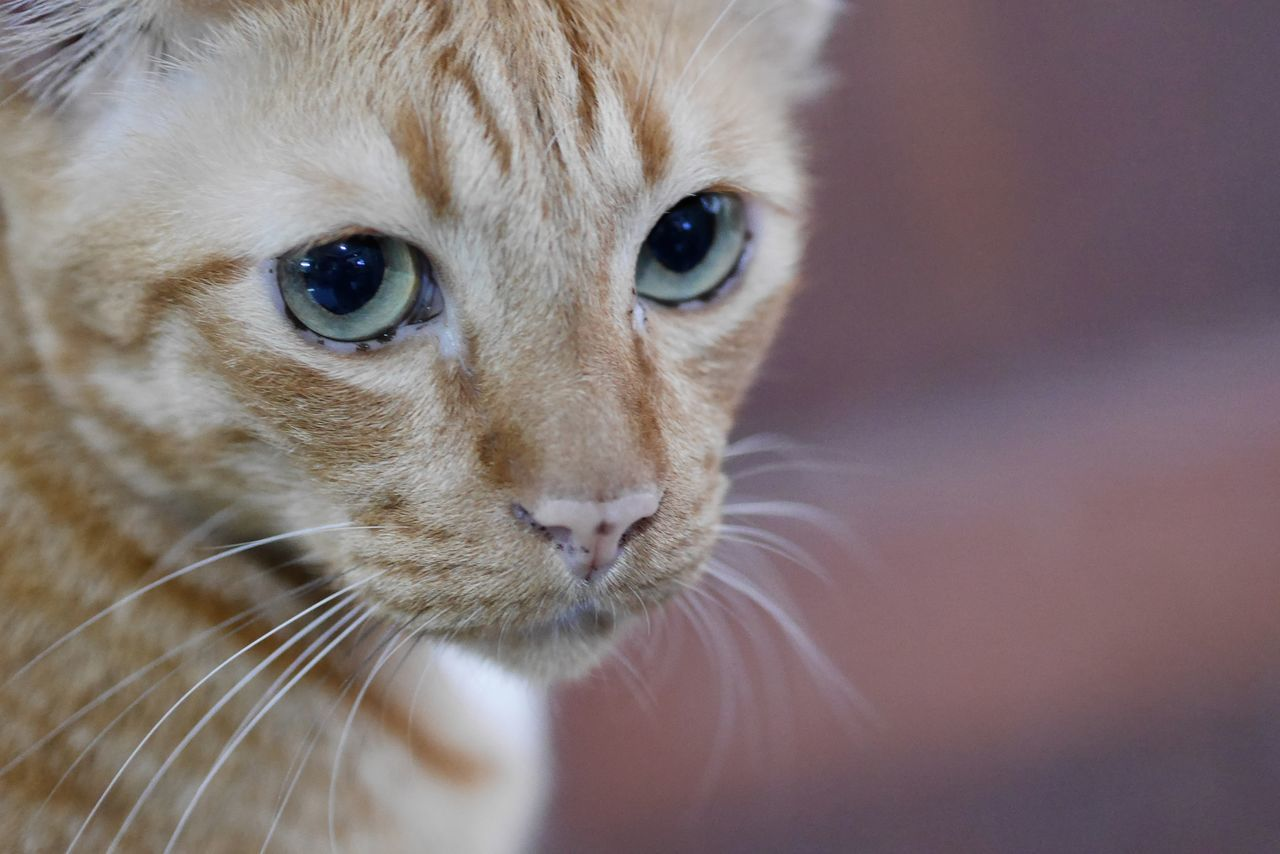 Cat Thailand Domestic Animals Domestic Cat Looking At Camera Animal Themes One Animal Close-up Portrait Whisker Pets Feline Mammal No People Tabby Cat Outdoors Day Thailand Photos EyeEm Team Photo Thailand Cat In Thai