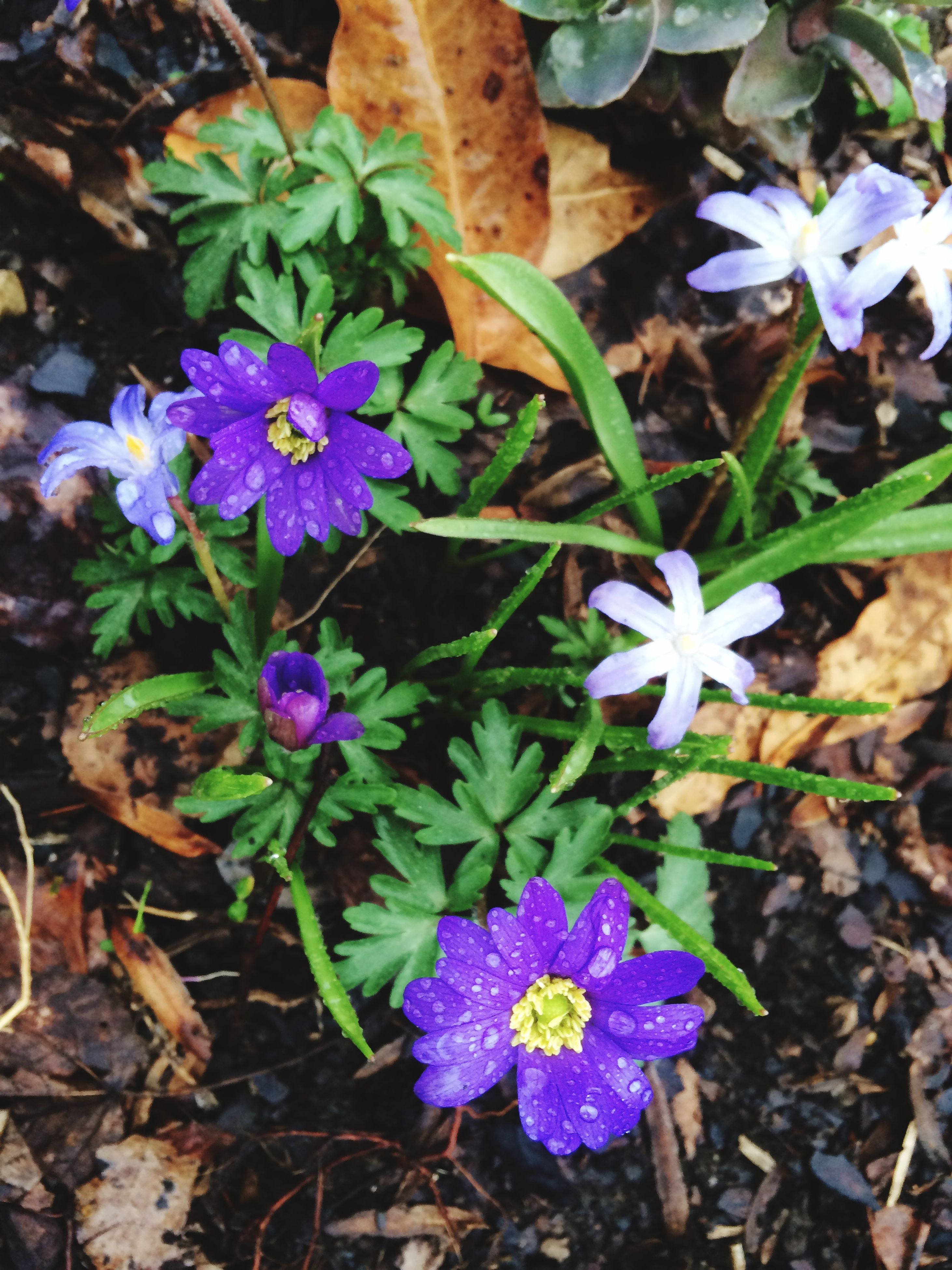 flower, petal, freshness, fragility, purple, growth, flower head, high angle view, beauty in nature, plant, leaf, blooming, nature, in bloom, close-up, field, botany, outdoors, springtime, no people