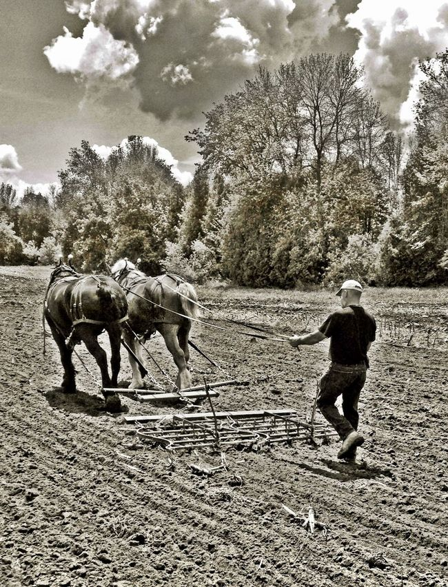 Leeds County Draft Horse Ploughing Match