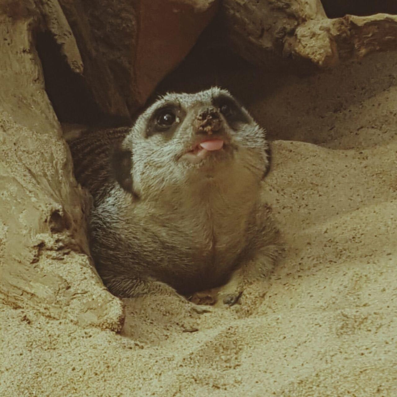 Cheeky Meerkat!.. One Animal Animal Themes No People Day Outdoors Meerkat Meerkat Head Meerkat Photography Tropicalworld