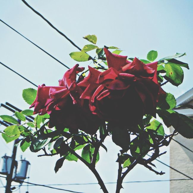 Flowers Roses Red
