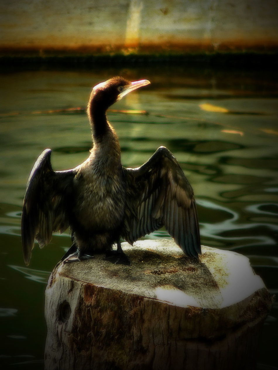 The captivating Beauty of Kerala!! Backlit Bird Beautiful Bird Beautiful Duck Bird Photography Birds_collection Black Ducks Exotic Bird Free Bird Glowing Bird Nature At It's Best Nature Photography Nature Photography Cloudy Resting Bird Wildlife Photography