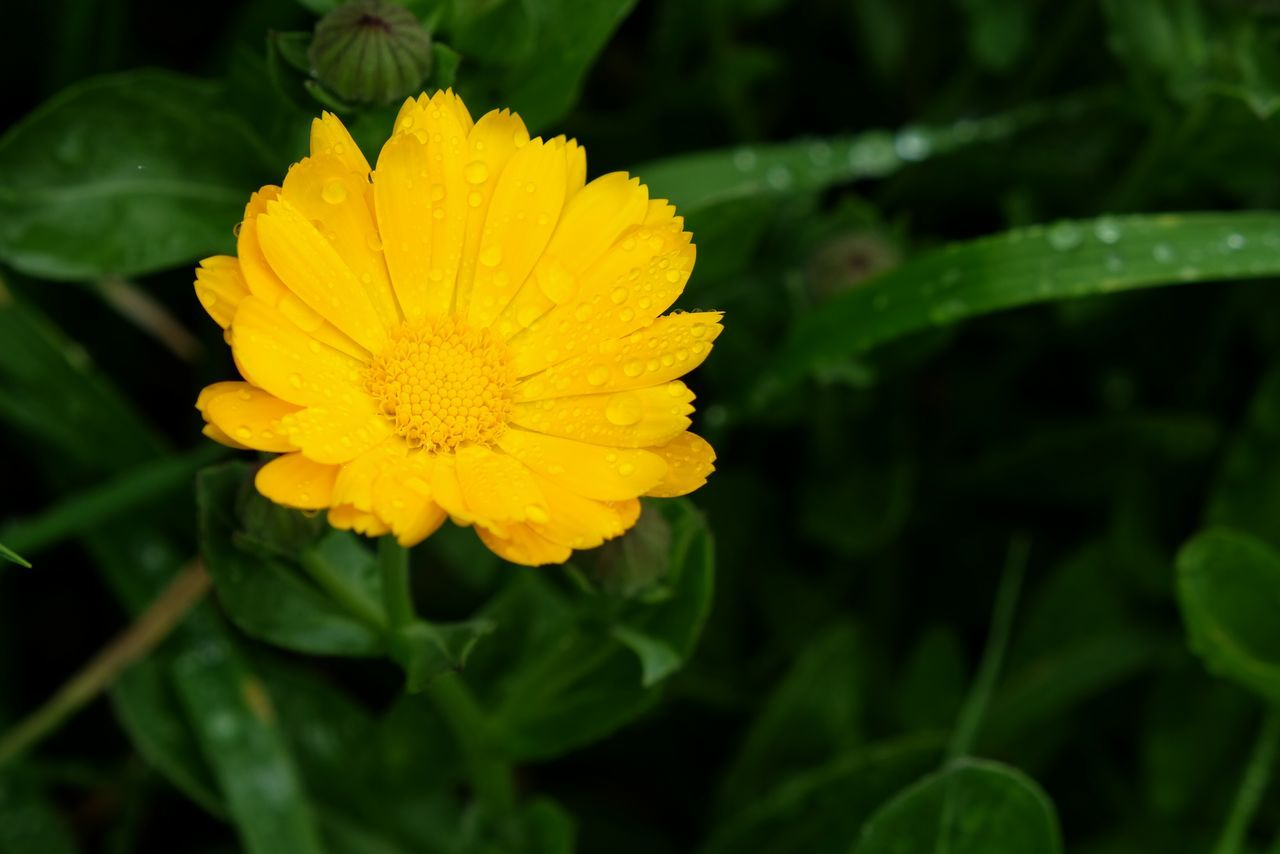 flower, petal, yellow, fragility, beauty in nature, growth, freshness, nature, flower head, plant, no people, blooming, green color, close-up, leaf, outdoors, day
