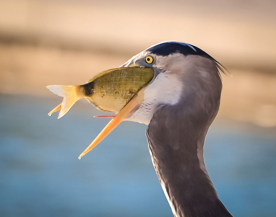 Beautiful stock photos of fish, Animal Eye, Animal Head, Animal Themes, Beak