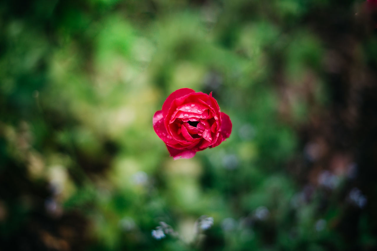 Beautiful Nature Beauty In Nature Blooming Close-up Day Flower Flower Head Green Growing Plants Growth Growth Lonely Macro Macro Nature No People Outdoors Petals Plant Rain Raining Rainy Rainy Days Red Red Rose Rose - Flower
