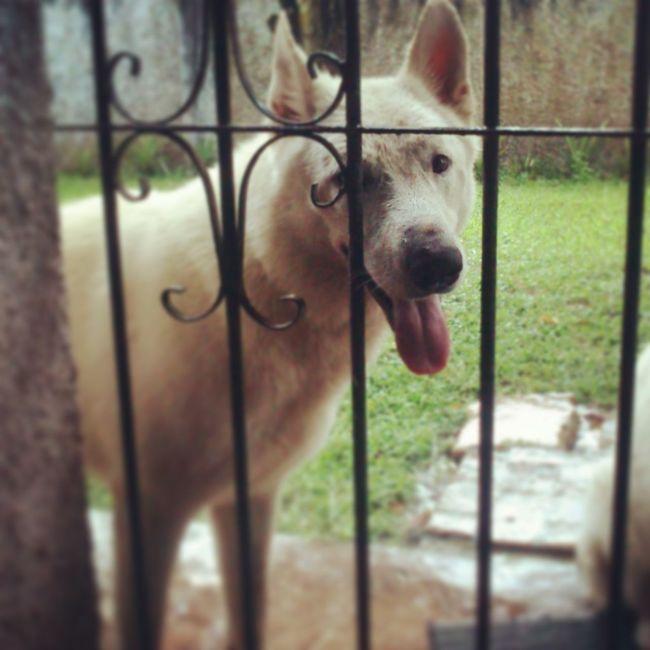 Polo Dog Pastor Branco Suíço White Shepard Cachorro