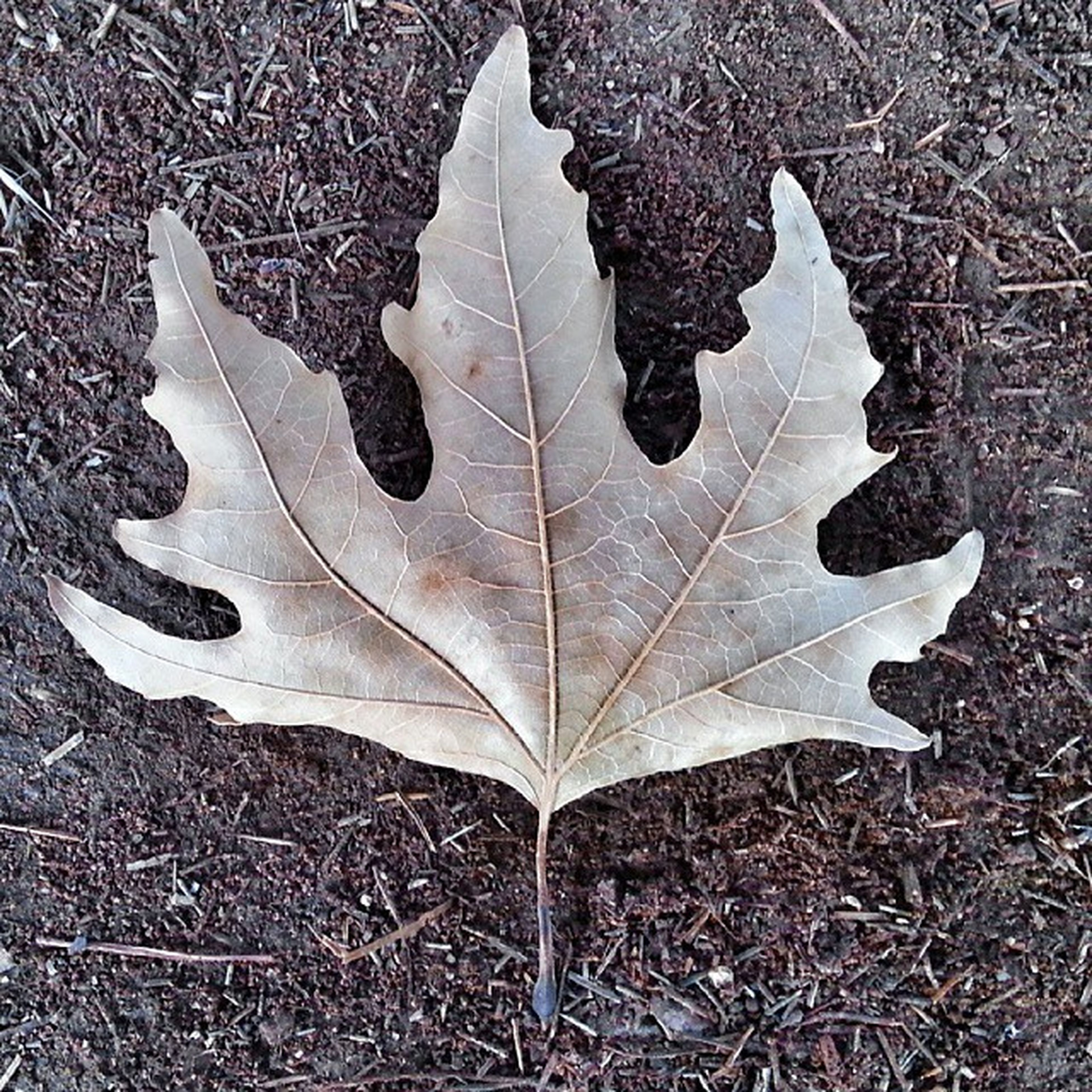 leaf, autumn, dry, change, leaf vein, season, natural pattern, leaves, maple leaf, high angle view, fallen, close-up, nature, pattern, fragility, field, backgrounds, day, natural condition, outdoors