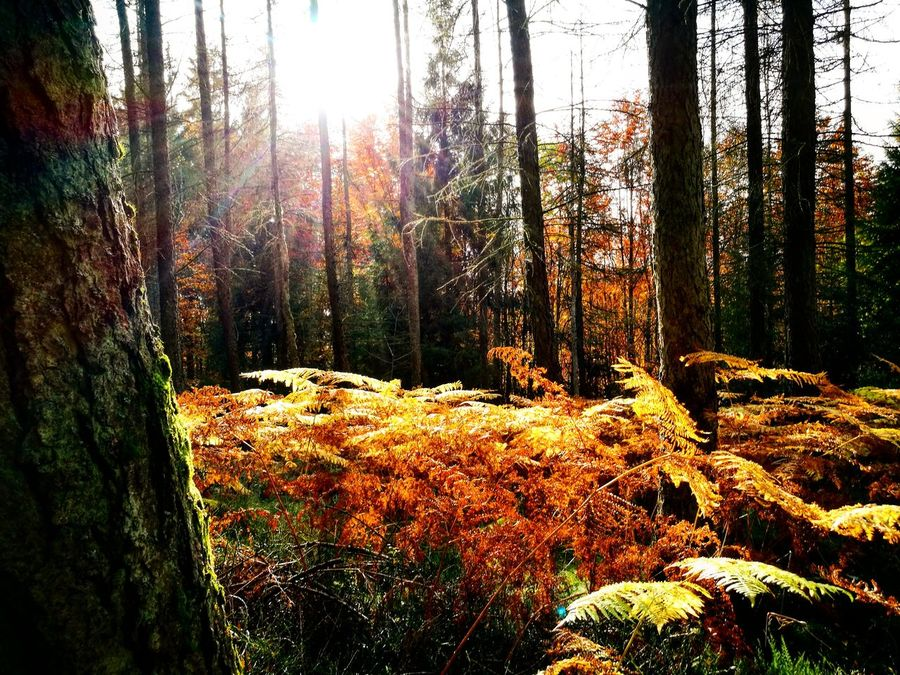 Deep in the woods #autumn #fagnes #fall #hiking #leaves #light #naturephotography #Philippines #Sunrays #sunset #sun #clouds #skylovers #sky #nature #beautifulinnature #naturalbeauty #photography #landscape #woods Beauty In Nature Day Forest Growth Nature No People Outdoors Scenics Sky Sunlight Tranquil Scene Tranquility Tree