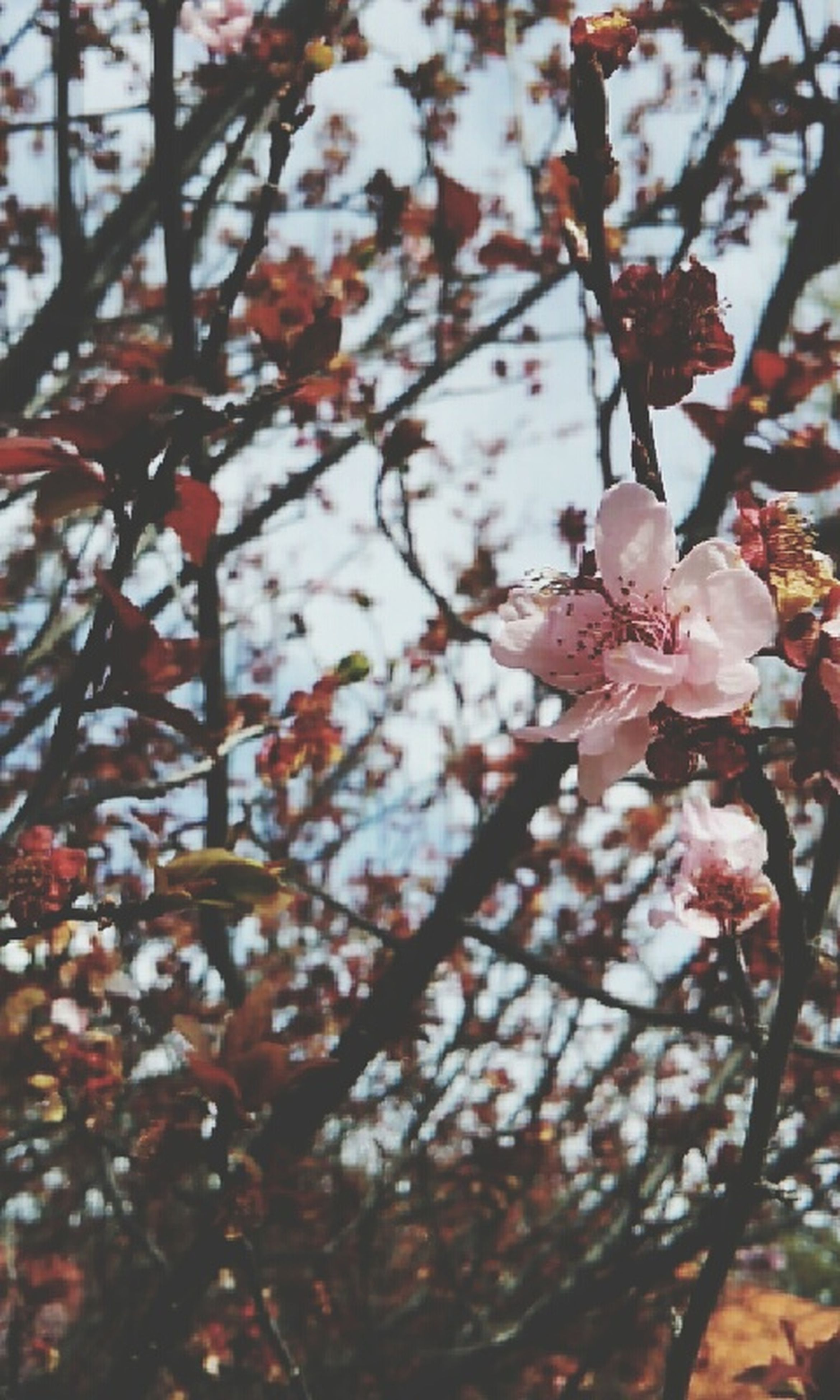 branch, tree, low angle view, growth, focus on foreground, flower, nature, close-up, beauty in nature, pink color, freshness, twig, day, cherry tree, fragility, outdoors, leaf, no people, selective focus, hanging