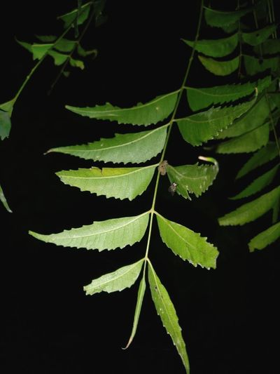 Leaf Growth Nature Beauty In Nature Green Color Plant Change Close-up Outdoors No People Freshness Tranquility Black Background Backgrounds Night Neem Tree Neem Night Photography