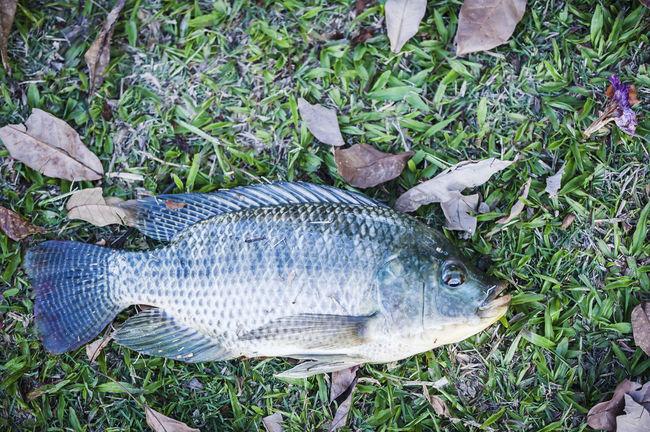 Animals Close-up Dead Fısh Field Fresh Water Fish Grass Grassy Ground Marine Life Nature Outdoors Still Life Water Creatures