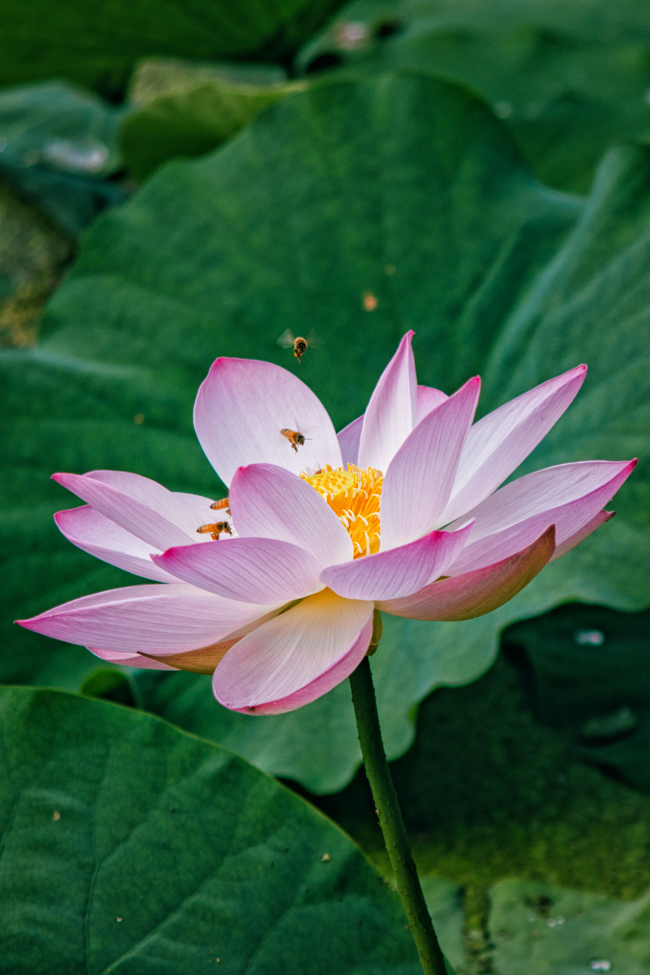 Bees and lotus Bee Day Flower Flower Head Green Color Growth Leaf Lotus Nature No People Outdoors Petal Pink Color Plant