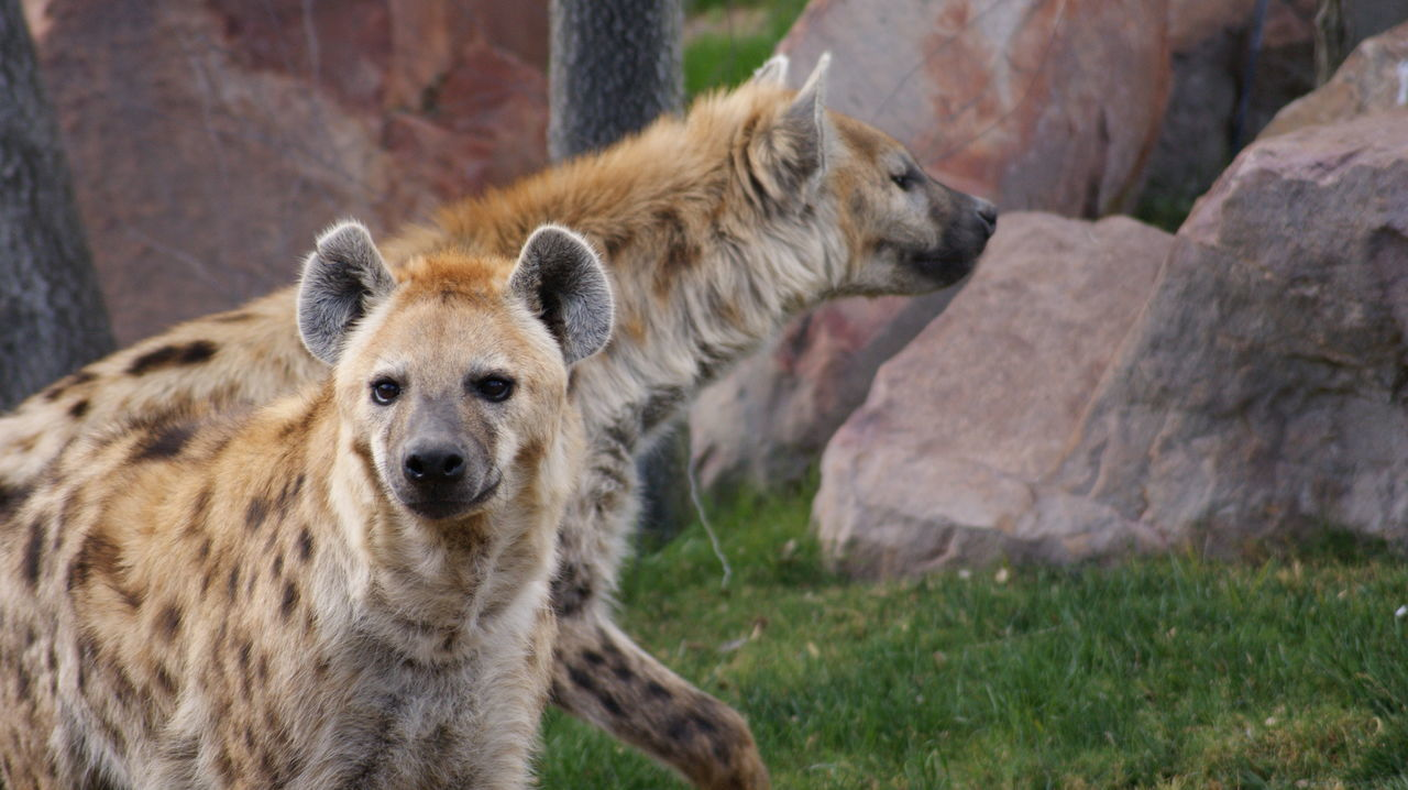Alertness Animal Animal Hair Animal Head  Animal Themes Brown Close-up Day Focus On Foreground Mammal Nature No People Outdoors Portrait Selective Focus Hyena Hyenas