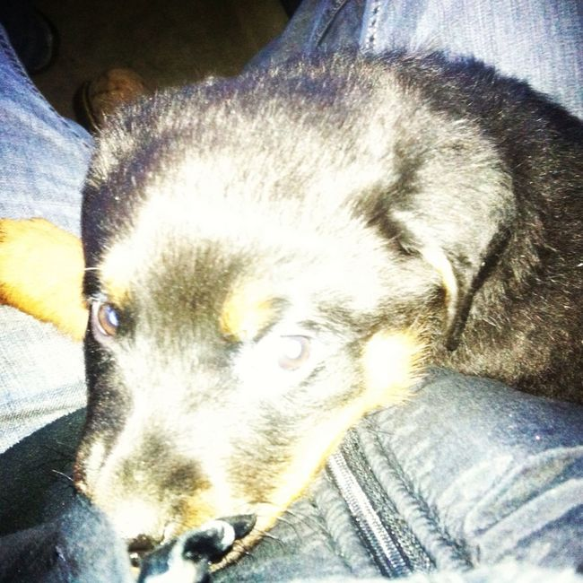 My New Rootweiler Pup#tank